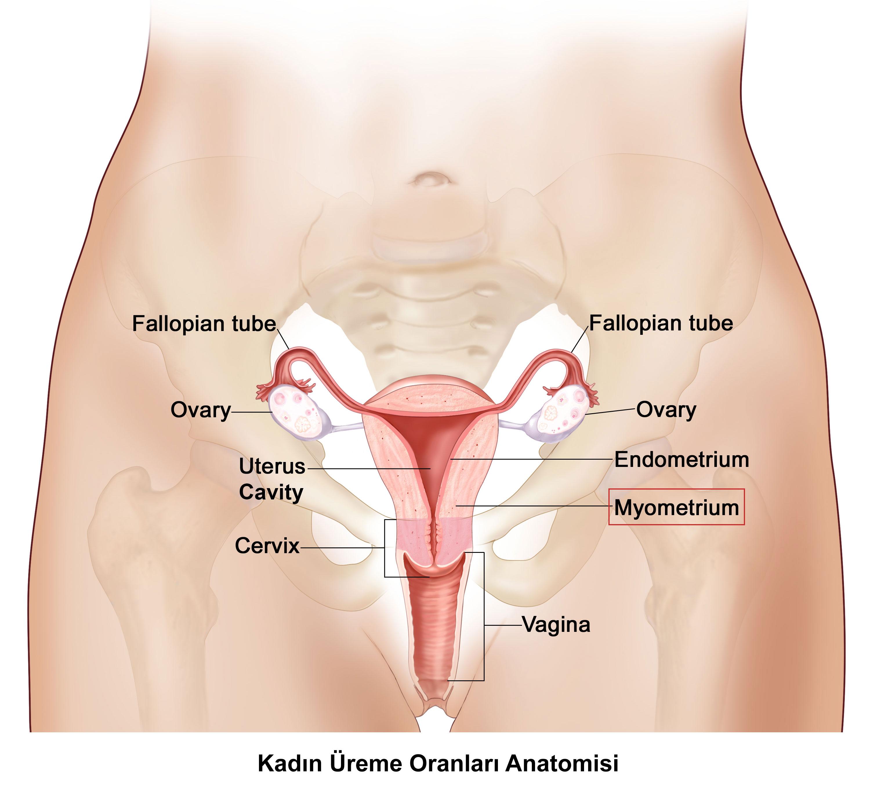 kadin-ureme-organlari-anatomisi
